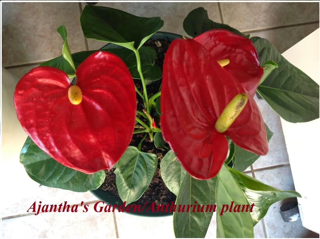 Ajantha's Garden/Anthurium plant