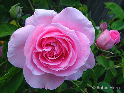 Pink Heritage Rose