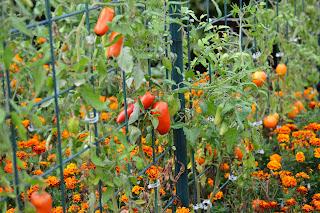 http://4.bp.blogspot.com/-A9-PnlF0SrE/UvV-UTuHnJI/AAAAAAAAA8s/sB-lzeoXppQ/s1600/tomato7.JPG