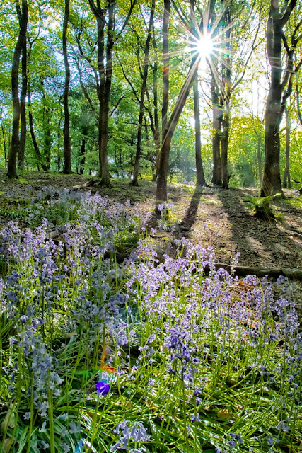 Beaumont Park Bluebells with Sunburst