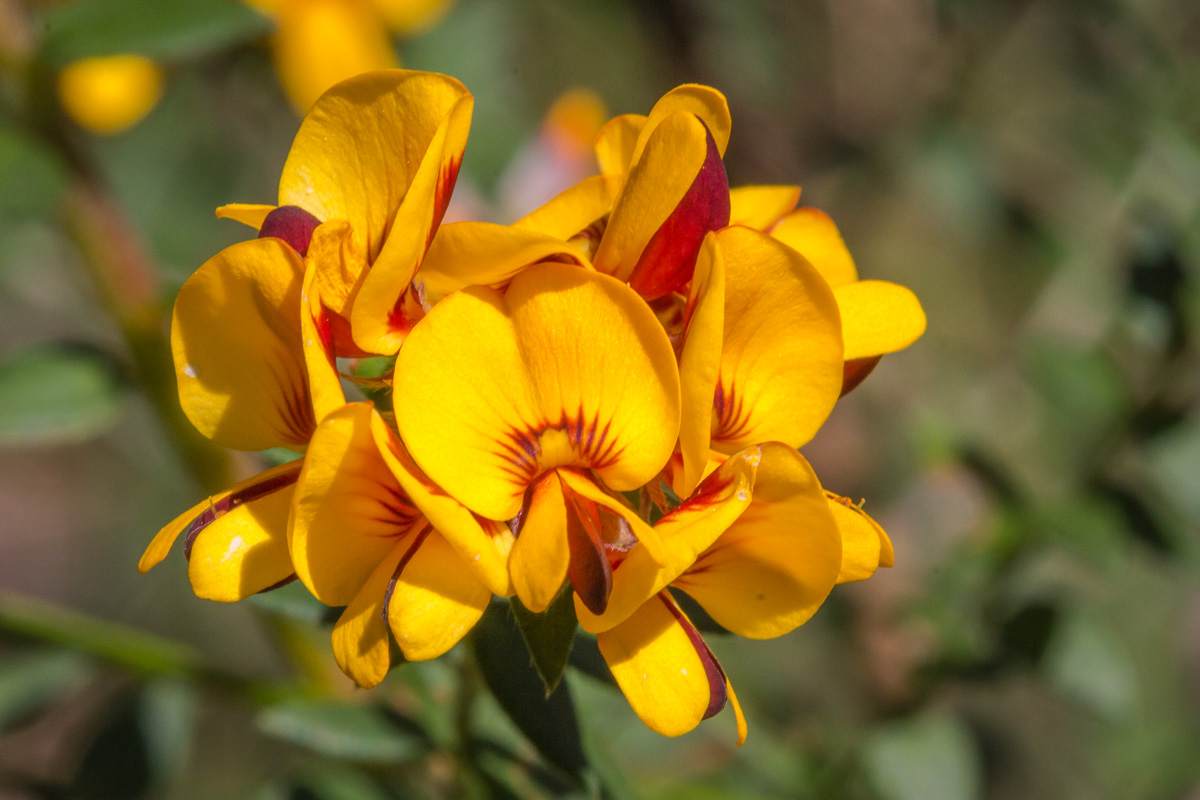 Golden Bush Pea