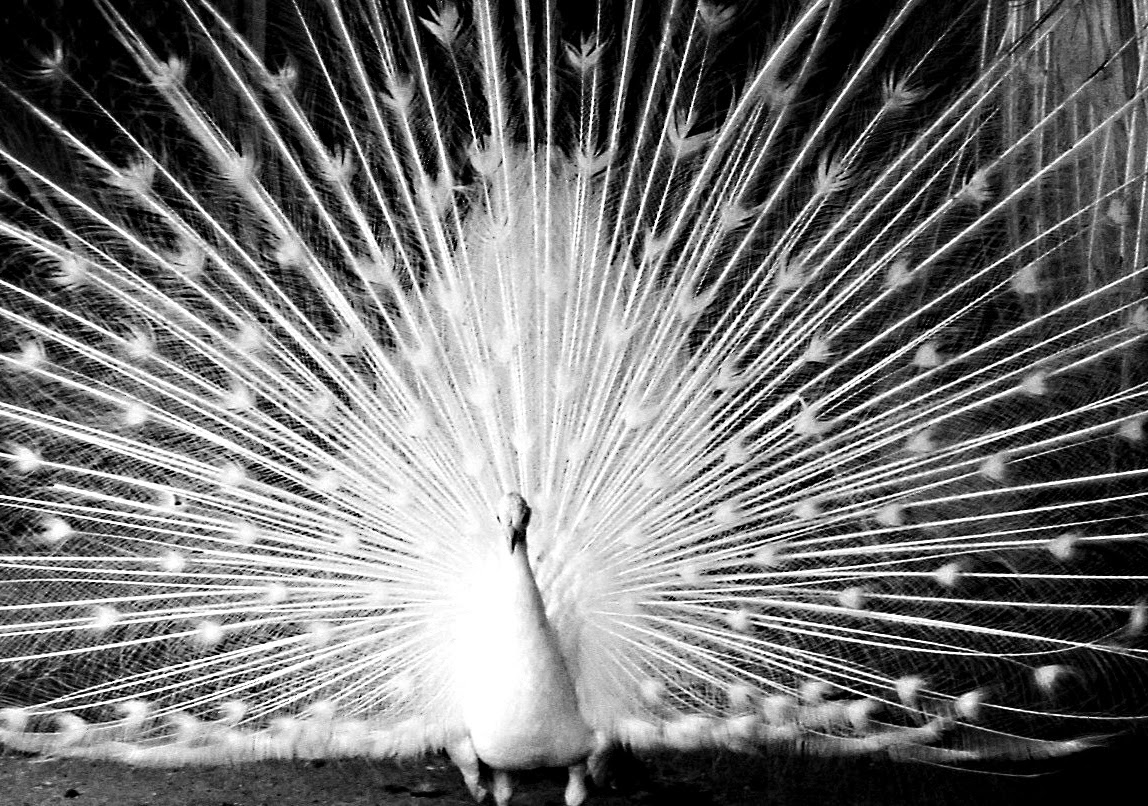 Peacock black and white picture - photo#22