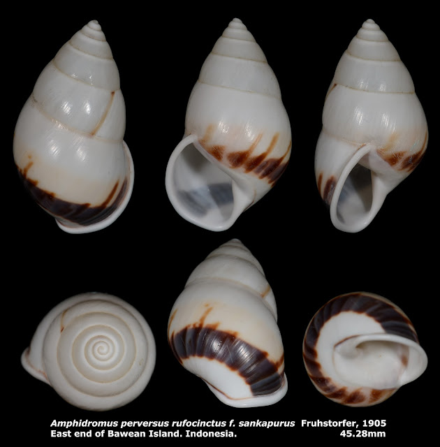 Amphidromus perversus rufocinctus f. sankapurus 45.28mm