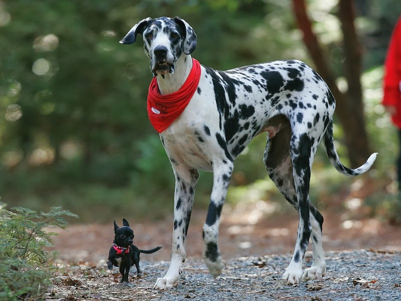 I A Great Dane Great Dane | Wild Life...