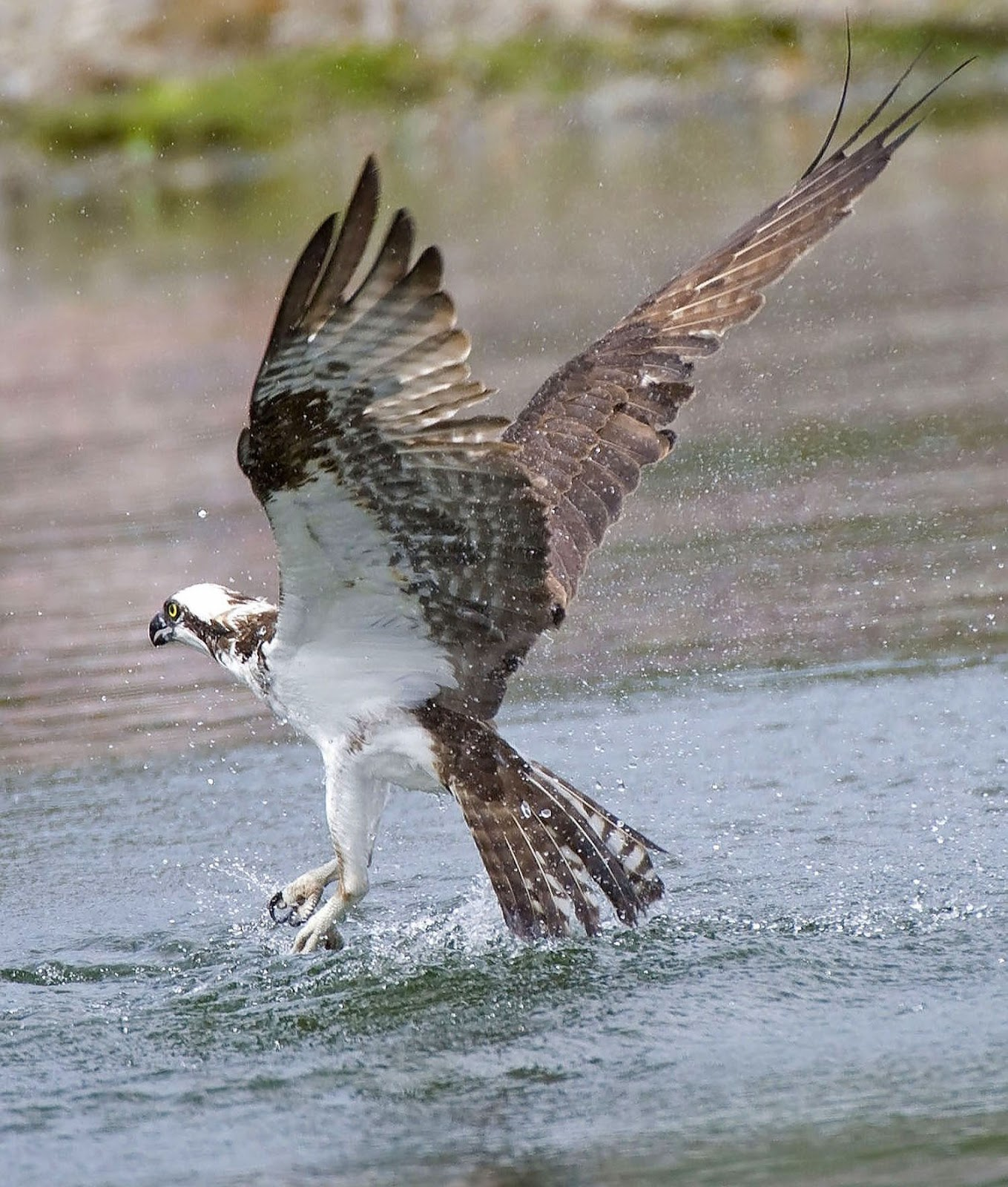 Shoreline area news for the birds osprey the other sea hawk for Osprey catching fish