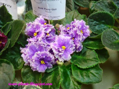 Plant's the soul of your flat: My Photos of African Violets