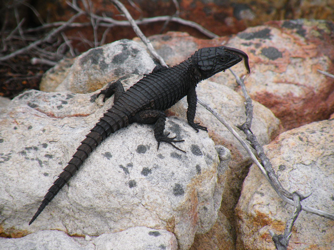U S Lizard Black Girdled L...