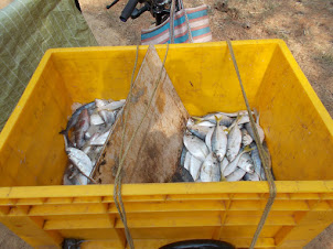 Fish sold by motorcycle fish salesman in Barkur.