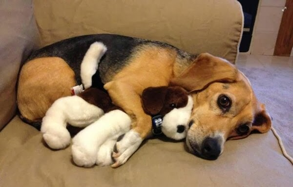 Cute dogs - part 4 (50 pics), dog pictures, beagle puppy with stuffed beagle