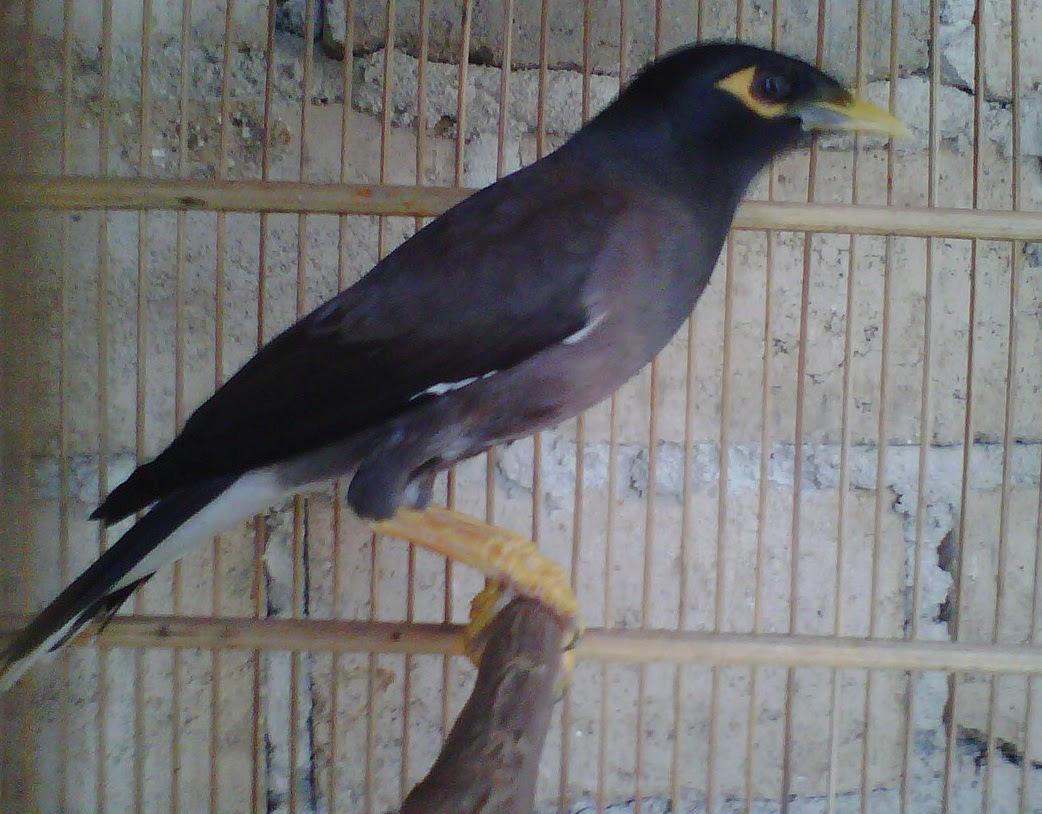 Dijual Jalak Nias Murah Di Jakarta Selatan Cara Merawat Burung Kacer