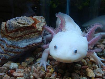 Axolotl   Wild Life Animal