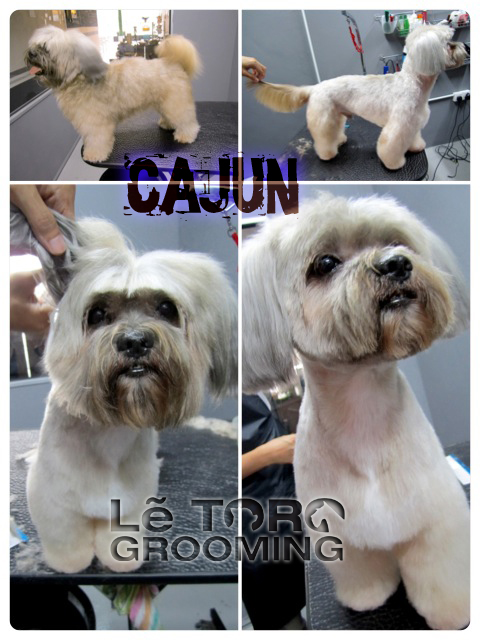 Shih Tzu teddy bear cut