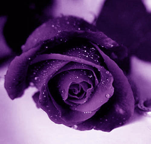 Color Me Roses   The Purple Rose