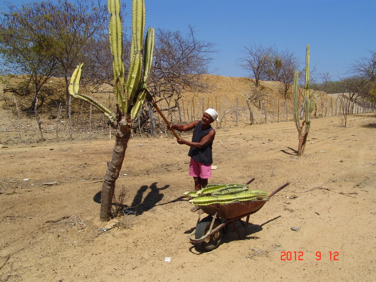 O corte do mandacaru na seca