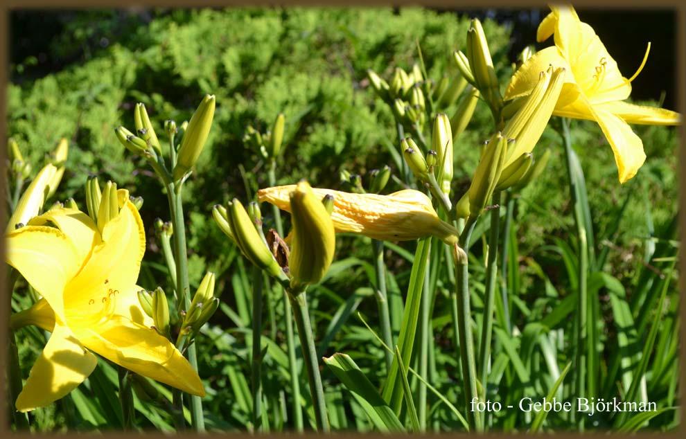 Trädgård O Sånt : Gebbes naturliga dagbok juli några kuriosa växter i vår trädgård