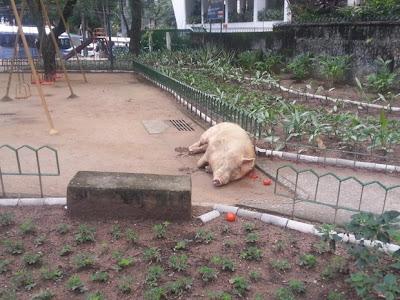 porco abandonado na Tijuca