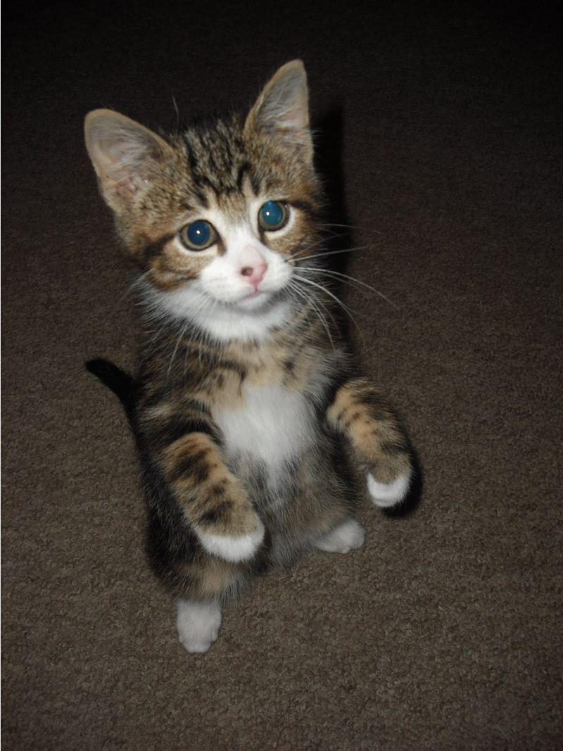 standing kitten, funny cat photos