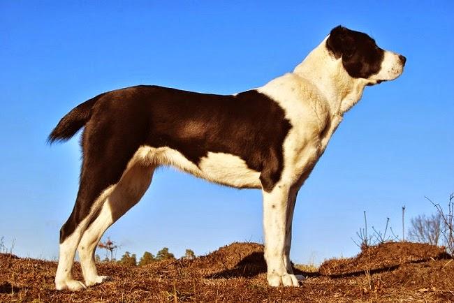 Psy rasy Owczarek Środkowoazjatycki