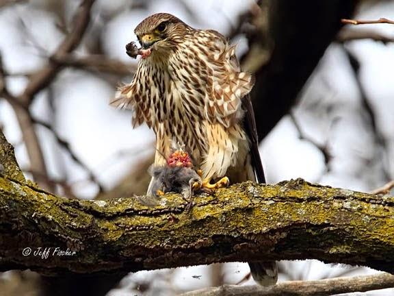 Female Merlin Falcon Eating a Junco