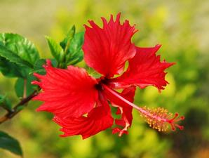 Khasiat Bunga Kembang Sepatu