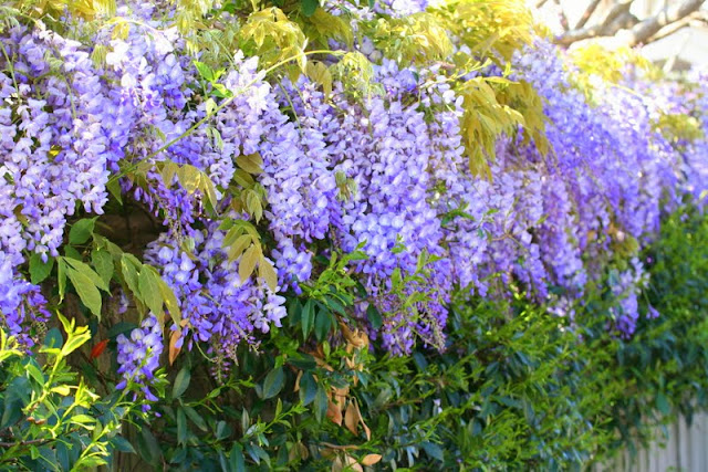 Wisteria in Bloom in Sydney