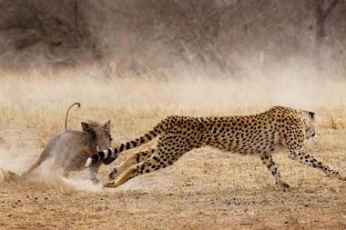 Javali e leopardo