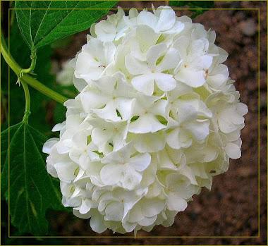 Hortência branca