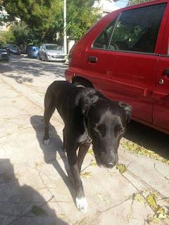 Αρσενικό σκυλακι με πράσινο σκάλιμπορ και αλυσιδίτσα στο λαιμό περιφερεται στο Μαρουσι. Μηπως το αναγνωριζει καποιος?