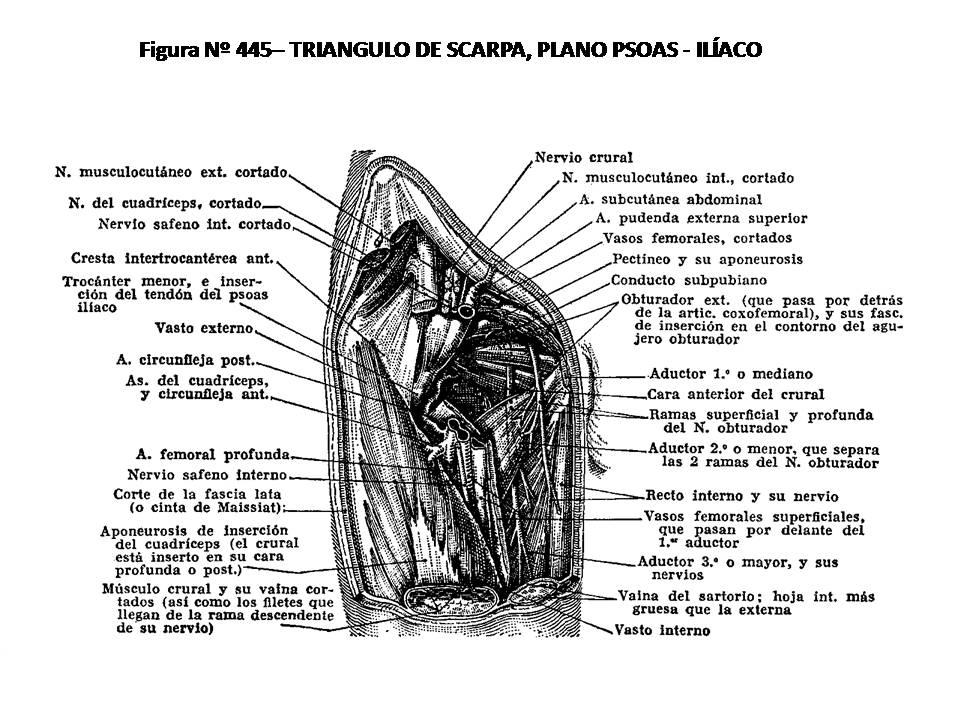ATLAS DE ANATOMÍA HUMANA: 445. TRIÁNGULO DE SCARPA, PLANO PSOAS-ILÍACO.