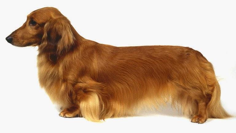 razas de perros peque241as perro de raza peque241a dachshund