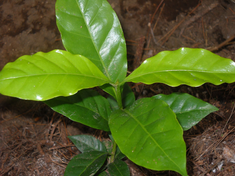 Teknik perbanyakan kopi secara generatif