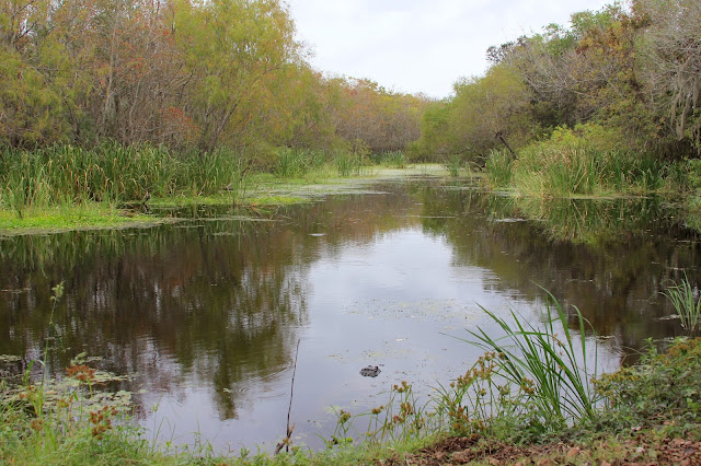 Alligator-Spillway Trail-Brazos Bend State Park-Needville, Texas