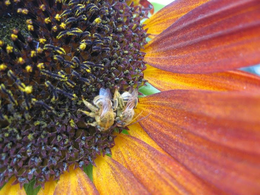 Sunflower/bees