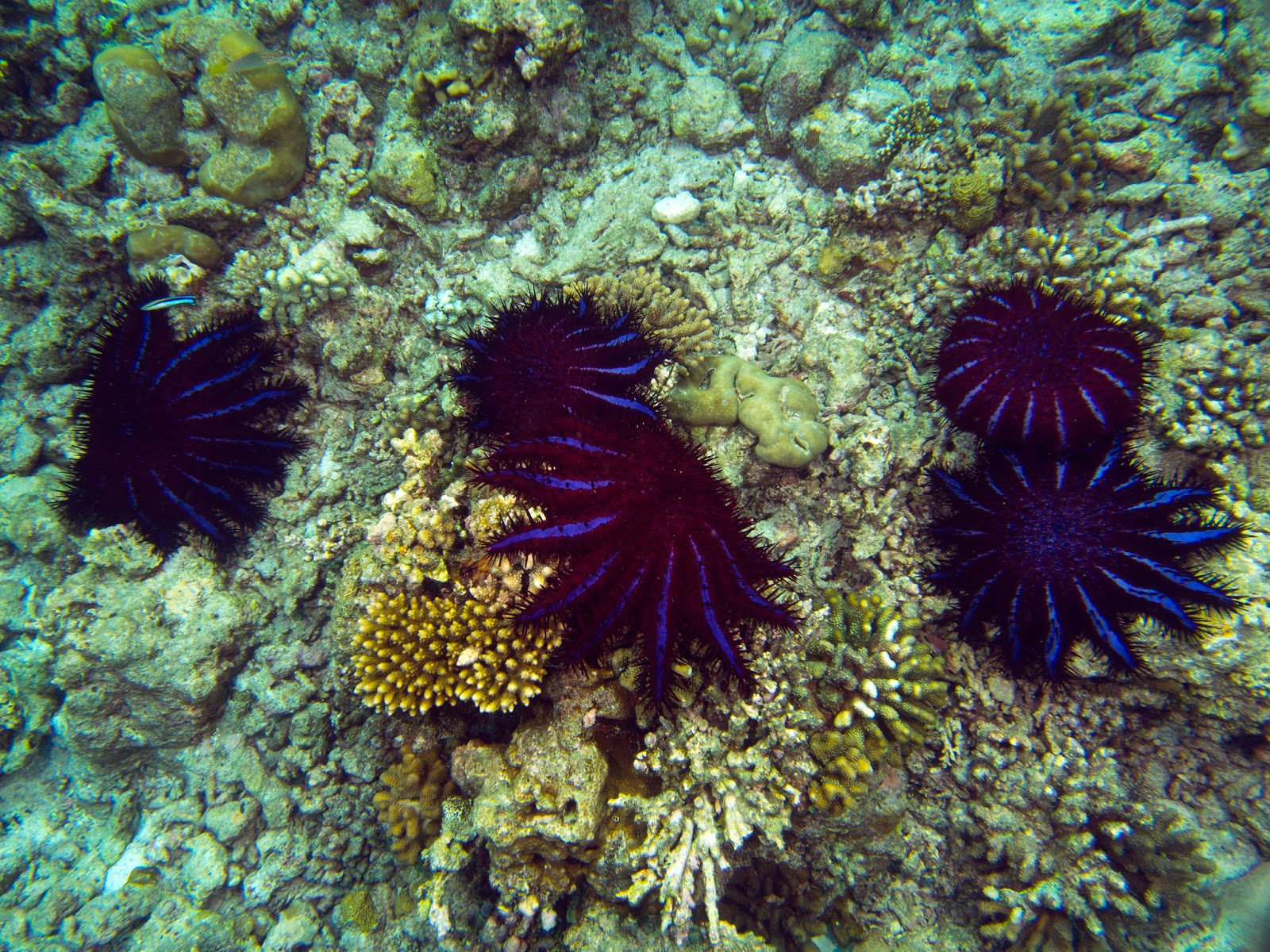 crown of thorns starfish Despite a new potent injectable to help divers kill record numbers of crown of thorns starfish the plague continues to eat huge swathes of the great barrier reef down to white skeletons.