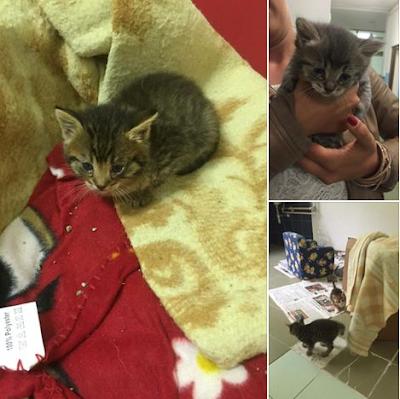 gatti gattini cuccioli adozione