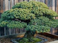 Inilah Bonsai Berumur 388 Tahun yang Selamat dari Tragedi Hiroshima