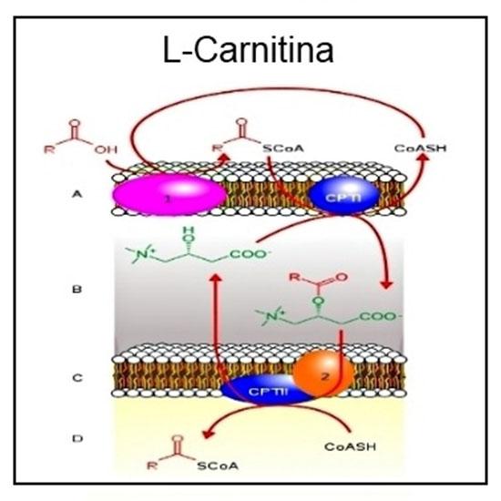 DURA GORDURA: L-Carnitina ¿Funciona para Adelgazar?