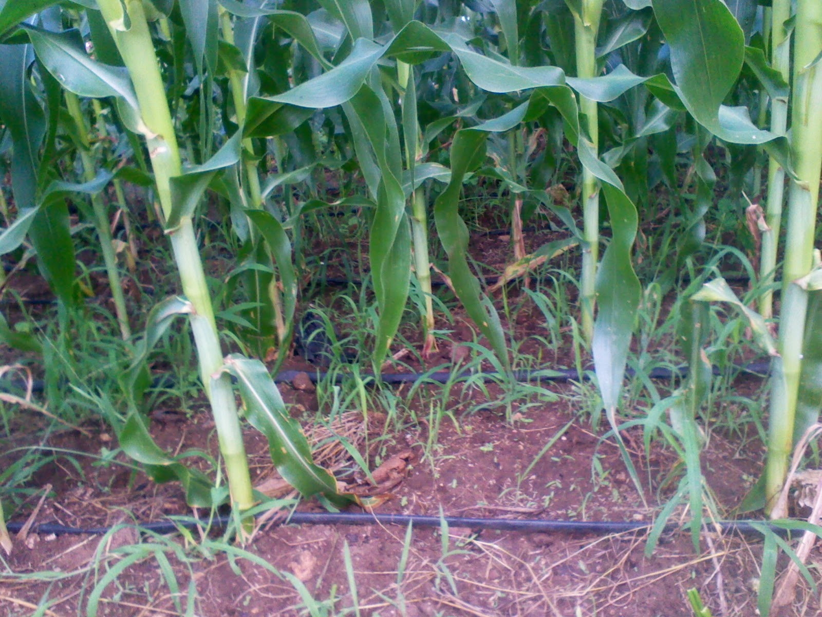 maize production 31 removal of pathogen reservoirs for maize virus diseases, vectors, weedy grasses, other poaceous crops, and maize itself can serve as reservoirs or sources of.