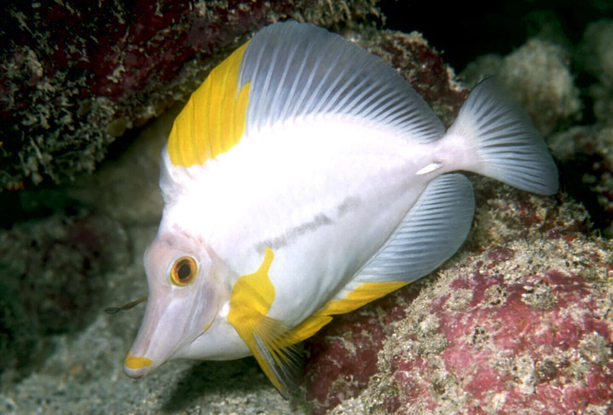 Moved permanently for Yellow tang fish