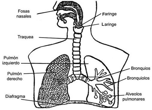 Sistema respiratorio dibujos para niños - Imagui