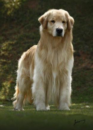 O Golden Retriever Solta Muito Pelo Analise De Cães: ...