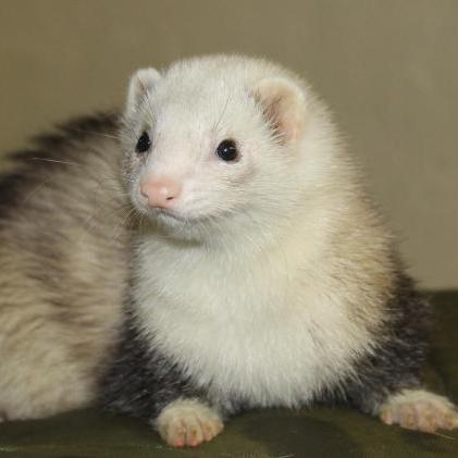 Ferret Farm - Rescued kitten adopted by ferrets now thinks shes a ferret too
