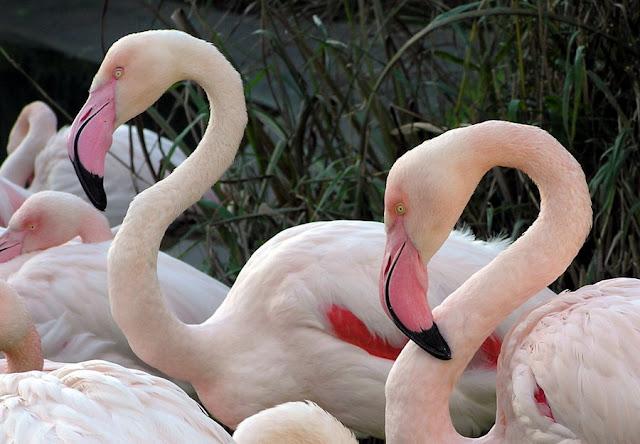Flamencos - Fauna Iberica - Fauna Española - http://spanishfauna.blogspot.com.es
