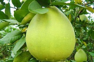 Manfaat dan Kandungan Jeruk Bali