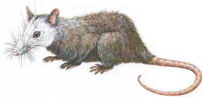 mamiferos del Cretaceo Alphadon