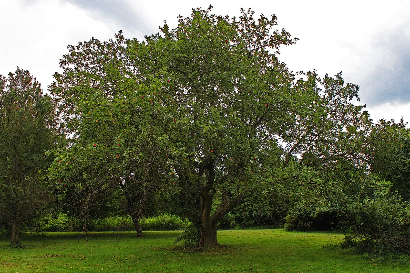 apple tree Pruning apples in the south are usually pruned to an open center habit at planting select 3-4 scaffold branches spaced equally around the trunk and remove other branches flush with the trunk.