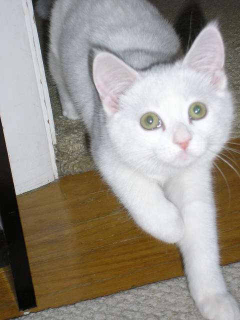 Gambar Kucing Anggora Yang Lucu Dunia Binatang