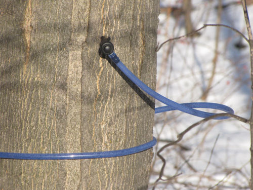 tapping maple syrup trees