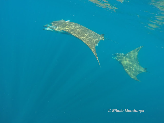 two rays, dappled with sunlight, swimming through turquoise water