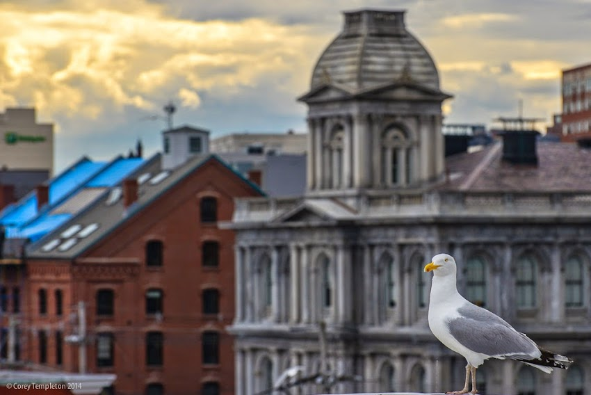 Portland, Maine Seagull in the Old Port photo by Corey Templeton